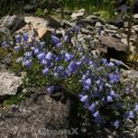 Zwergglockenblume - Campanula cochleariifolia - Vorschau