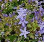 Polster Glockenblume Erinus Major - Campanula garganica - Vorschau