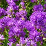Knäulglockenblume Freya - Campanula glomerata - Vorschau