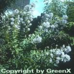 Doldenglockenblume Alba - Campanula lactiflora - Vorschau