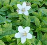 Doldenglockenblume White Pouffe - Campanula lactiflora - Vorschau