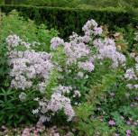 Doldenglockenblume - Campanula lactiflora - Vorschau