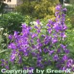 Waldglockenblume - Campanula latifolia