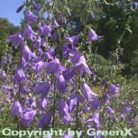 Rapunzelglockenblume - Campanula rapunculoides - Vorschau