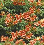 Chinesische Klettertrompete Grandiflora 40-60cm - Campsis grandiflora - Vorschau