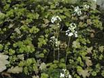 Kleeblättriges Schaumkraut - Cardamine trifolia - Vorschau