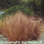 Fuchsrote Segge - großer Topf - Carex buchananii - Vorschau