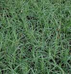 Blaugrüne Segge Blue Zinger - Carex flacca
