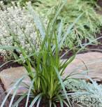 Immergrüne Japan Segge Irish Green - großer Topf - Carex morrowii - Vorschau