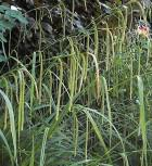 Riesensegge - Carex pendula