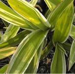 Weißbunte Teppich Segge - Carex siderosticha