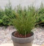 Neuseeland Segge - großer Topf - Carex testacea