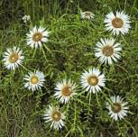 Silberdistel Silver Star - Carlina vulgaris