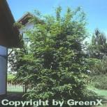Hainbuche Weißbuche 100-125cm - Carpinus betulus - Vorschau