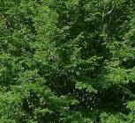 Kleinblättrige Hainbuche 40-60cm - Carpinus polyneura