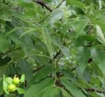 Bitternuss 40-60cm - Carya cordiformis