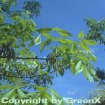 Schuppenrinden Hickorynuss 60-80cm - Carya ovata - Vorschau