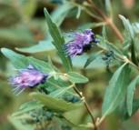 Bartblume Summer Sorbet 40-60cm - Caryopteris clandonensis