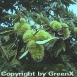Eßkastanie 100-125cm - Castanea sativa