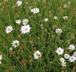 weiße Rasselblume - Catananche caerulea