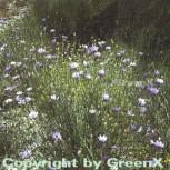 Rasselblume - Catananche caerulea - Vorschau