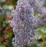 Säckelblume Glorie Versailles 80-100cm - Ceanothus delilianus - Vorschau