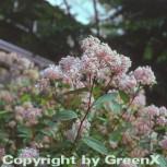 Säckelblume Marie Simon 30-40cm - Ceanothus pallidus