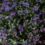 Bergflockenblume Grandiflora - Centaurea montana