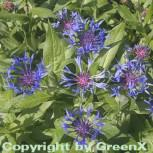Bergflockenblume - Centaurea montana