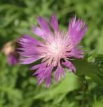 Silber Flockenblume - Centaurea pulcherrima - Vorschau