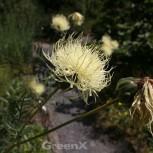 Ukrainische Flockenblume - Centaurea ruthenica