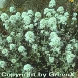 Spornblume Albus - Centranthus ruber - Vorschau