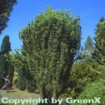 Kopfeibe 40-50cm - Cephalotaxus harringtonia Fastigiata