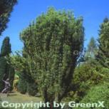 Kopfeibe 50-60cm - Cephalotaxus harringtonia Fastigiata - Vorschau