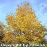 Judasblattbaum 125-150cm - Cercidiphyllum japonicum - Vorschau