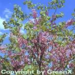 Gemeiner Judasbaum 60-80cm - Cercis siliquastrum - Vorschau