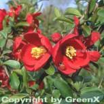 Zierquitte Crimson and Gold 60-80cm - Chaenomeles - Vorschau