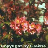 Zierquitte Pink Trail 30-40cm - Chaenomeles