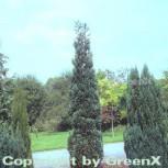 Blaue Säulenzypresse 60-80cm - Chamaecyparis lawsoniana - Vorschau