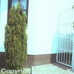 Kegelzypresse Ellwoodii Gold 125-150cm - Chamaecyparis lawsoniana - Vorschau