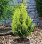 Scheinzypresse Gelbe Ivonne 50-60cm - Chamaecyparis lawsoniana