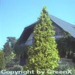 Gelbe Gartenzypresse Golden Wonder 30-40cm - Chamaecyparis lawsoniana - Vorschau
