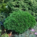 Scheinzypresse Green Globe 10-15cm - Chamaecyparis lawsoniana - Vorschau