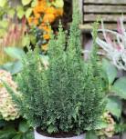 Zwerg Scheinzypresse Little Spire 20-30cm - Chamaecyparis lawsoniana