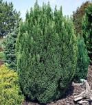 Gartenzypresse Snow White® 50-60cm - Chamaecyparis lawsoniana - Vorschau