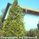 Gelbe Gartenzypresse Stardust 125-150cm - Chamaecyparis lawsoniana