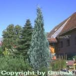 Scheinzypresse Pelts Blue 30-40cm - Chamaecyparis lawsoniana