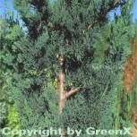 Gartenzypresse Wisselii 40-50cm - Chamaecyparis lawsoniana - Vorschau