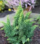Hinoki Zypresse Chirimen 20-25cm - Chamaecyparis obtusa - Vorschau