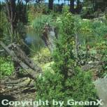 Scheinzypresse Drath 20-25cm - Chamaecyparis obtusa